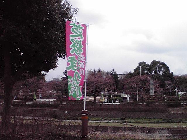 水無川の桜